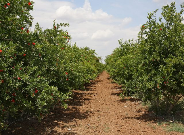 OUR ORCHARD